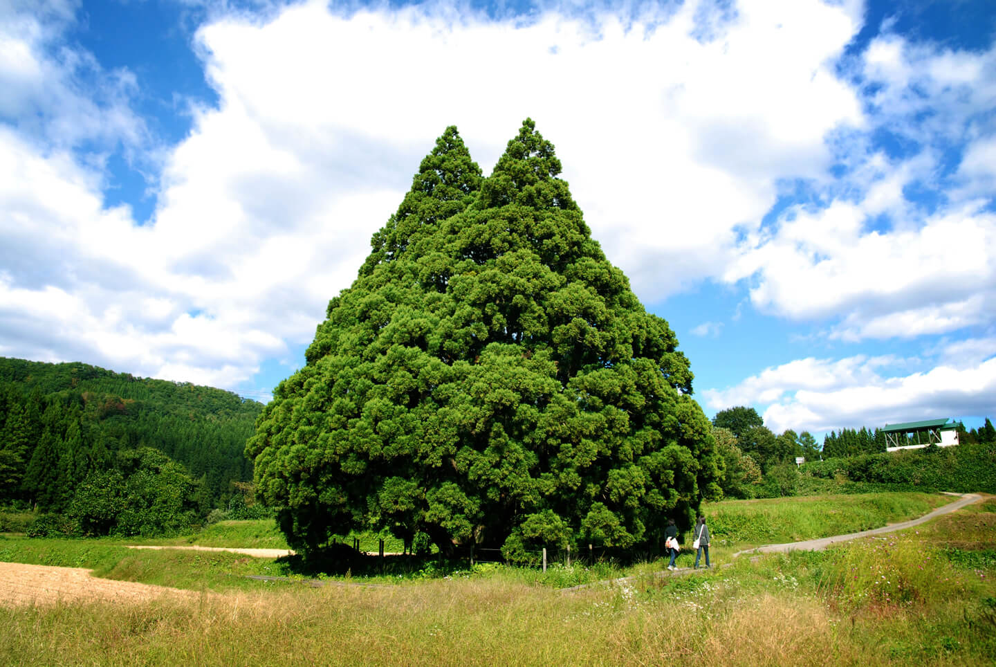 Gigantic Cedar Tree of Kosugi